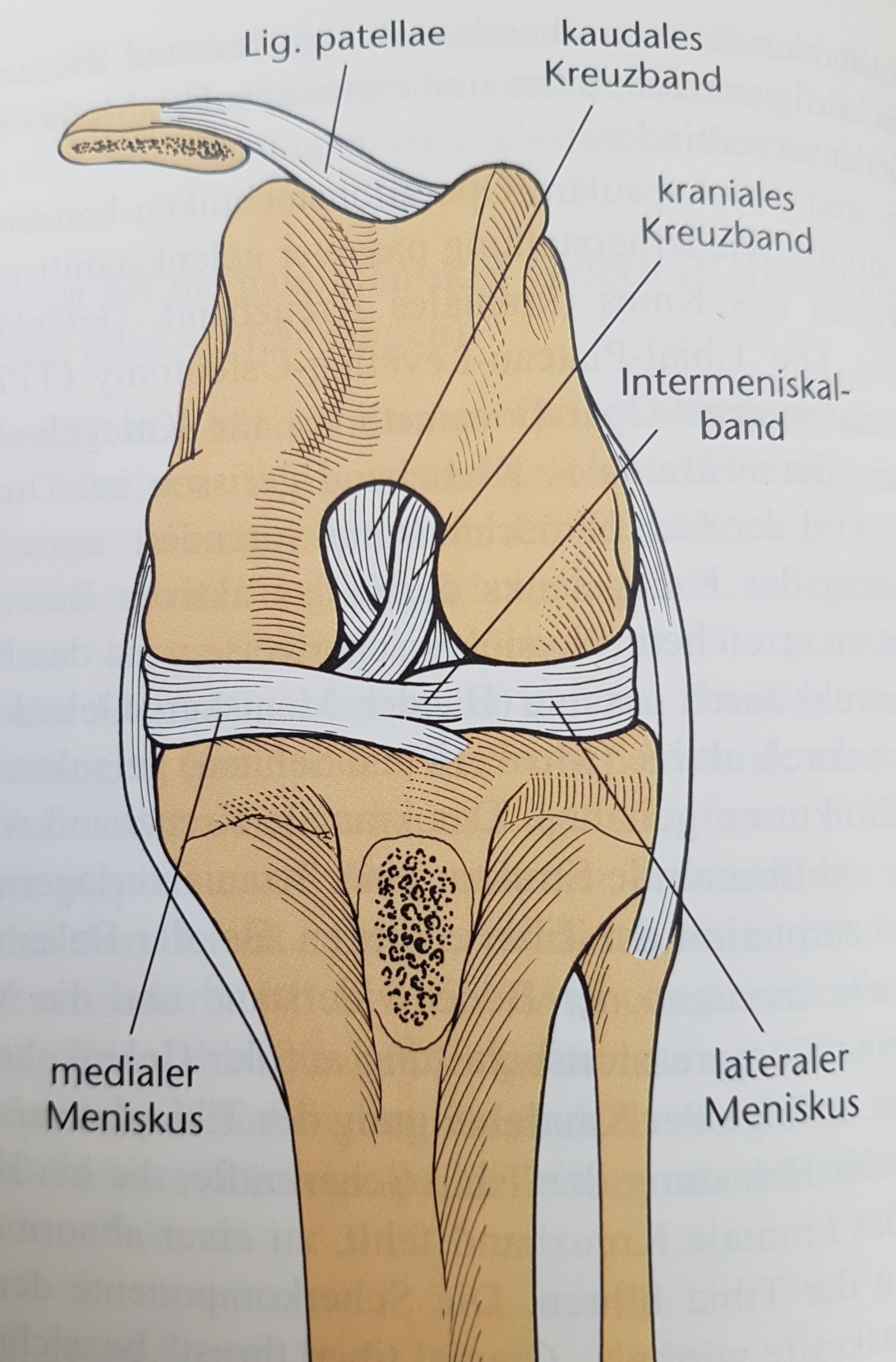 Beste Innenmeniskus Anatomie Galerie - Physiologie Von Menschlichen ...